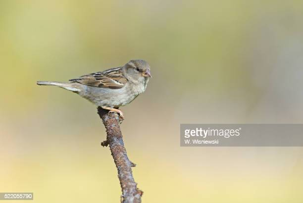 Female house sparrow after moult