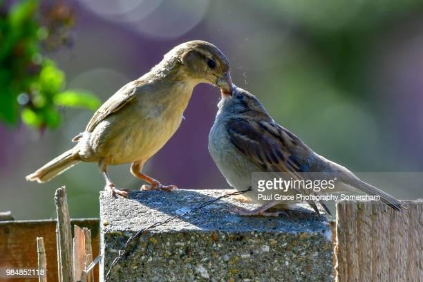 female house sparrow ( passer domesticus) feeding young fledgeling. - zangvogel stockfoto's en -beelden