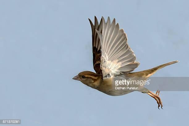 Female House sparrow flying