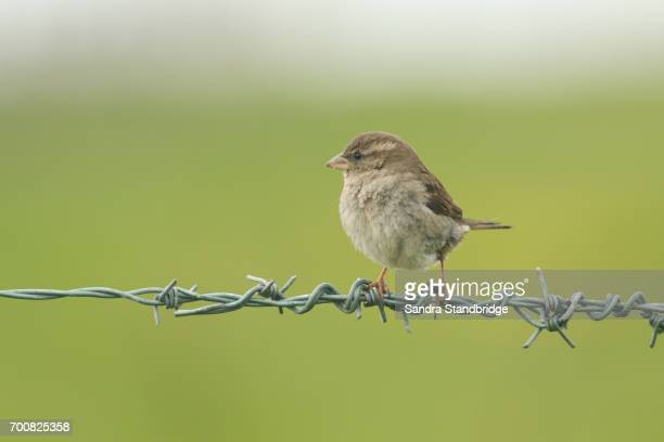 A female House Sparrow (Passer domesticus) perched on barbed wire.