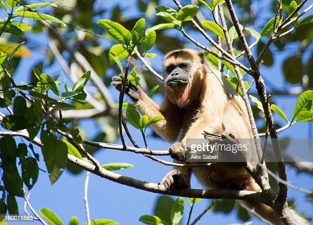 a female howler monkey in a tree. - alex saberi photos et images de collection