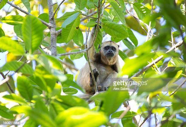 a female howler monkey sits among tree foliage. - alex saberi photos et images de collection