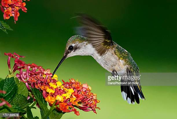 Female Hummingbird feeding on Lantana