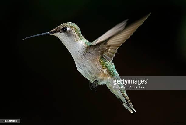Female Hummingbird