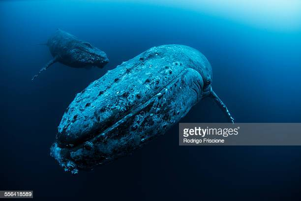 Female Humpback whale (Megaptera novaeangliae) and younger male escort swimming in the deep, Roca Partida, Revillagigedo, Mexico