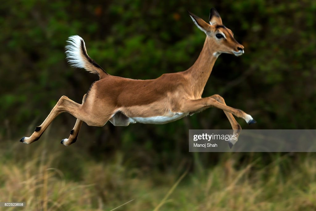 Female impala running : Stock Photo