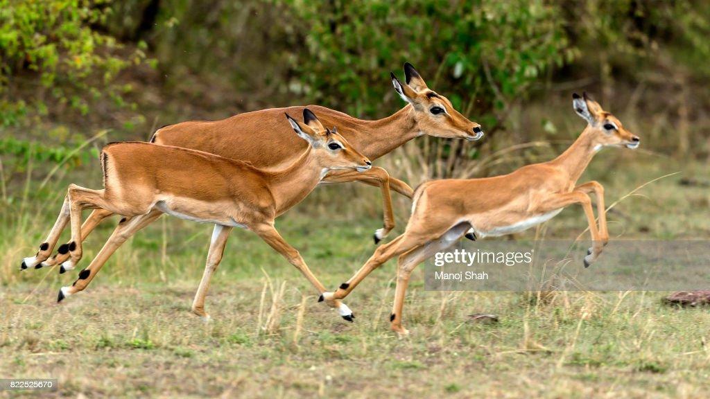 Female impalas running : Stock Photo