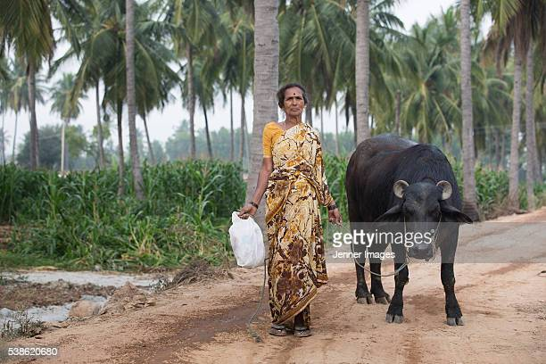 Female Indian Farmer leading her cattle.