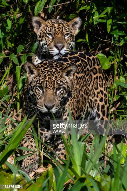 Female jaguar and its offspring, Pantanal, Mato Grosso, Brazil..
