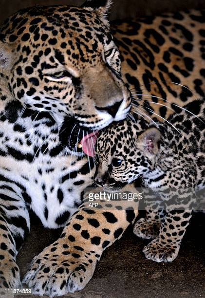 A female Jaguar called ''Rosa Salvaje'' licks her oneweekold cub at the National Zoo about 20 kms south of in Managua on Abril 072011 AFP PHOTO/Elmer...
