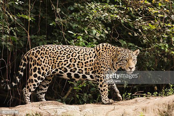 a female jaguar hunting in the early morning. - jaguar stock pictures, royalty-free photos & images