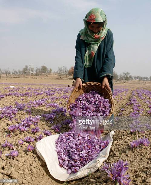 A female Kashmiri worker pluck saffron flowers on a farm on November 01 2009 in Pampur 20 km south of Srinagar in Indian administered Kashmir...