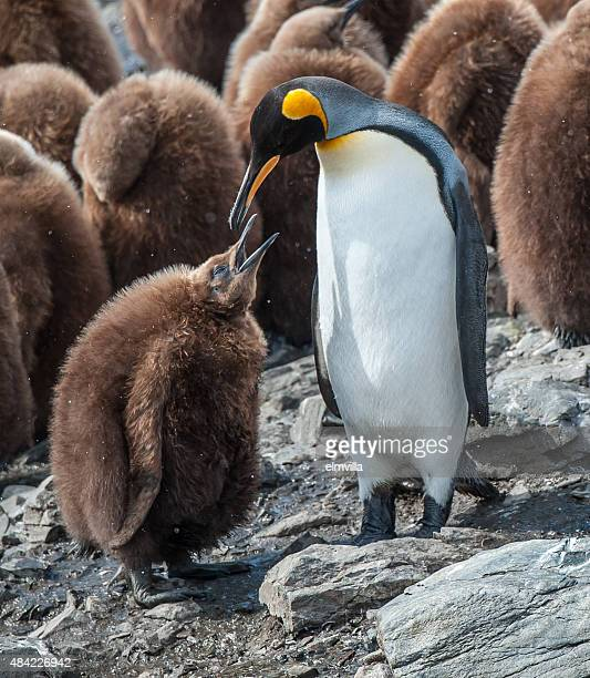 female king penguin feeding her chick in south georgia - koningspinguïn stockfoto's en -beelden