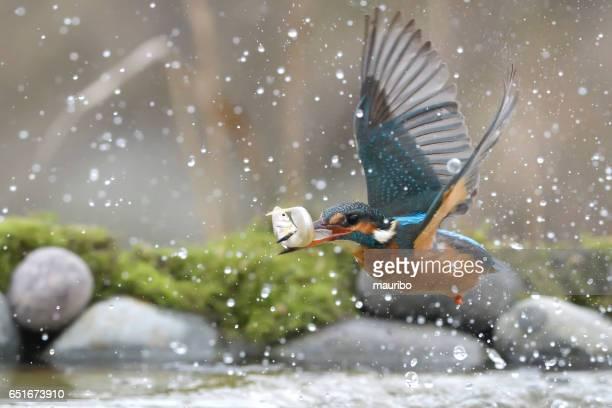 Female Kingfisher fishing