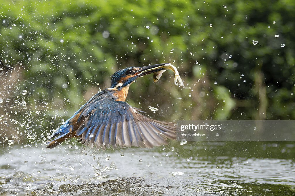 Female Kingfisher with her lunch : Bildbanksbilder