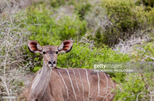 female kudu in addo elephant park lying in the bush - ems forster productions stock pictures, royalty-free photos & images