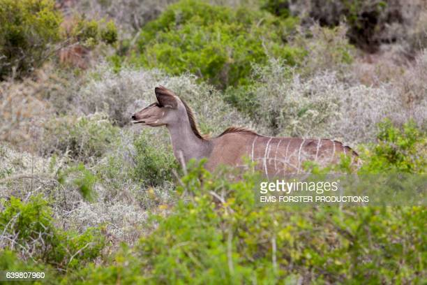 female kudu in addo elephant park - ems forster productions stock pictures, royalty-free photos & images