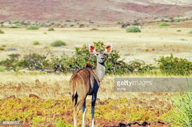 Female kudu in Damaraland ,Namibia