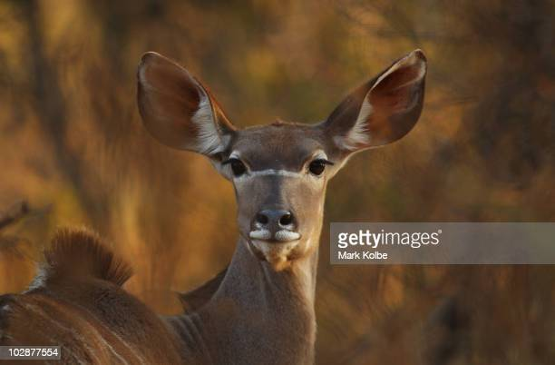 A female Kudu watches on at Pilanesberg National Park on June 2010 in Rustenburg South Africa Situated adjacent to Sun City Pilanesberg is the fourth...
