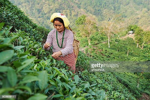 A female labor worker harvesting tea leaves
