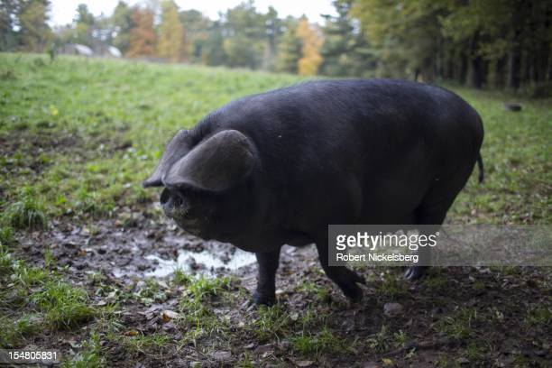 Female Large Black pig moves across a field to a trough of food October 4, 2012 at the Moon in the Pond farm in Sheffield, Massachusetts. Established...