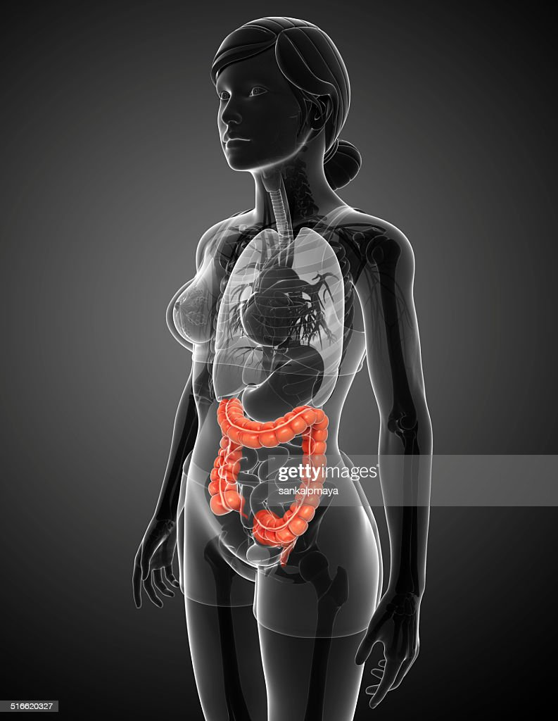 Female Large Intestine Anatomy Stock Photo Getty Images
