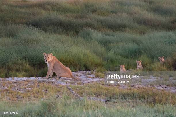 Female Lion and Her Young Cubs