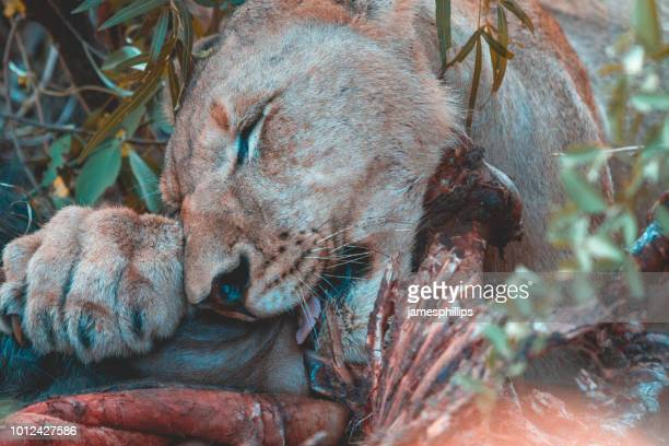 Female lion eating a kill, Madikwe Game Reserve, South Africa