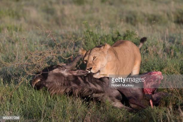 Female Lion Enjoying a Good Meal