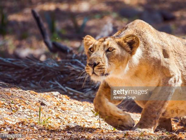 a female lion getting ready to charge a kill - cat family stock pictures, royalty-free photos & images