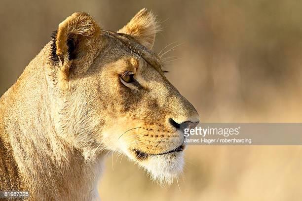 Female lion (Panthera leo), Masai Mara National Reserve, Kenya, East Africa, Africa