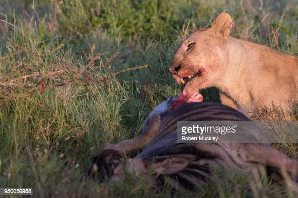 Female Lion on a Wildebeest