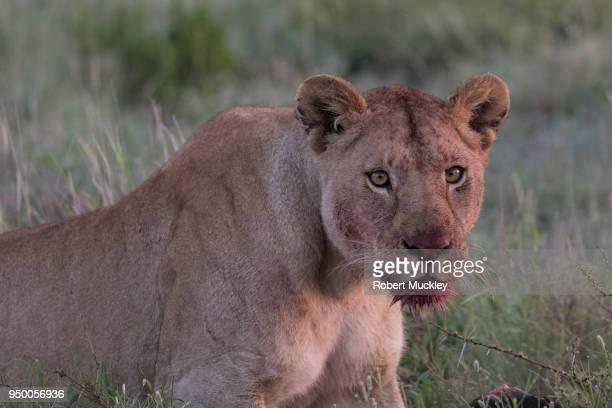 Female Lion Portrait