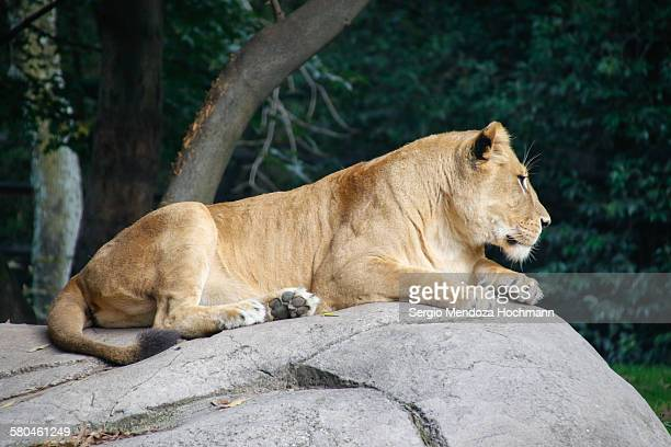 A female lion resting on a rock