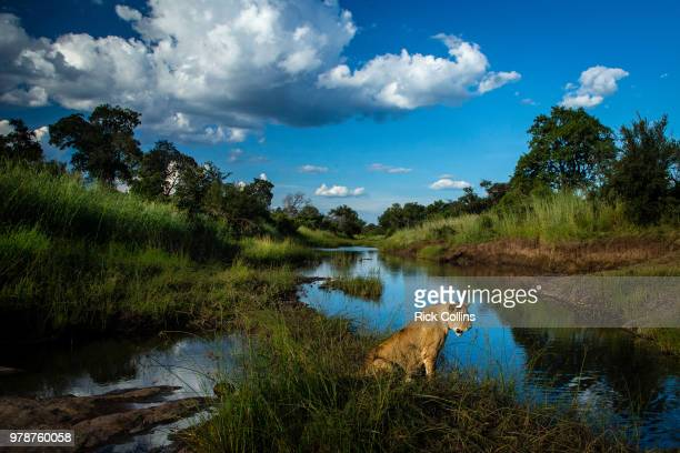 female lion (panthera leo) sitting by river, lower zambezi national park, zambia - national park stock pictures, royalty-free photos & images