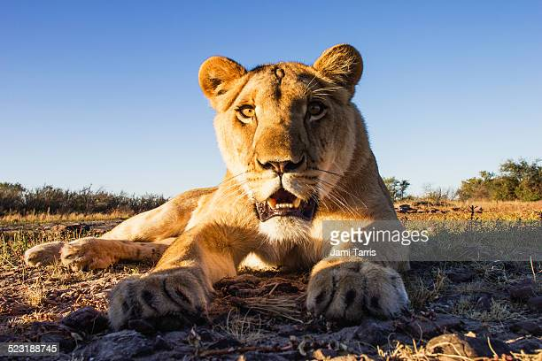A female lioness, wide-angle, close up