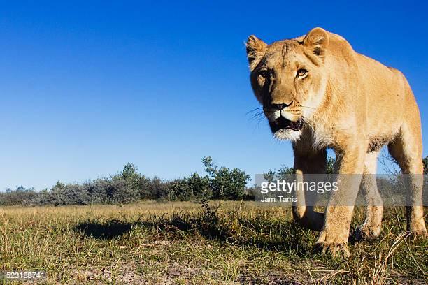 A female lioness,wide-angle, remote control