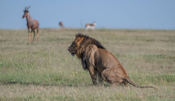 Female lion,Maasai Mara National Reserve,Kenya