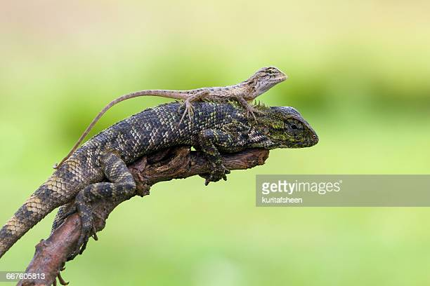 Female lizard with baby lizard sitting on back, Indonesia
