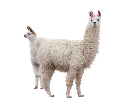 Female llama with a baby 177858564