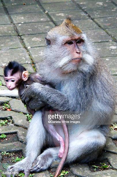 A female Long-tailed Macaque, or Crab Eating Macaque, Macaca fascicularis, holding her baby.