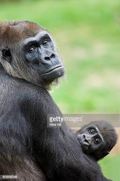 Female Lowland Gorilla and baby