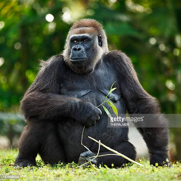 female lowland silver-back gorilla - gorilla stock pictures, royalty-free photos & images