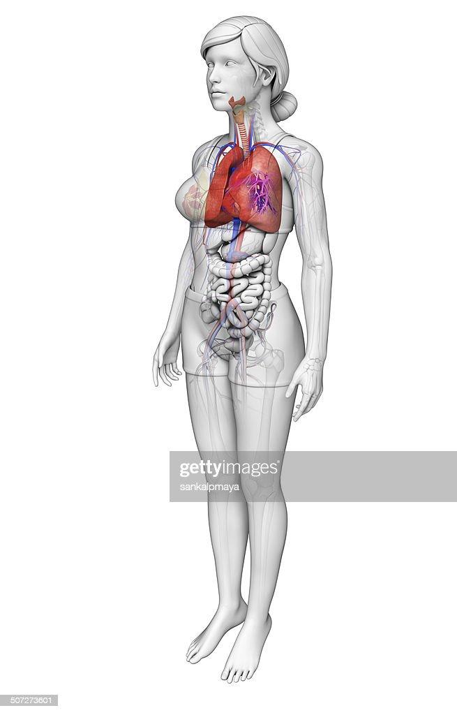 Weibliche Lungen Anatomie Stock-Foto | Getty Images