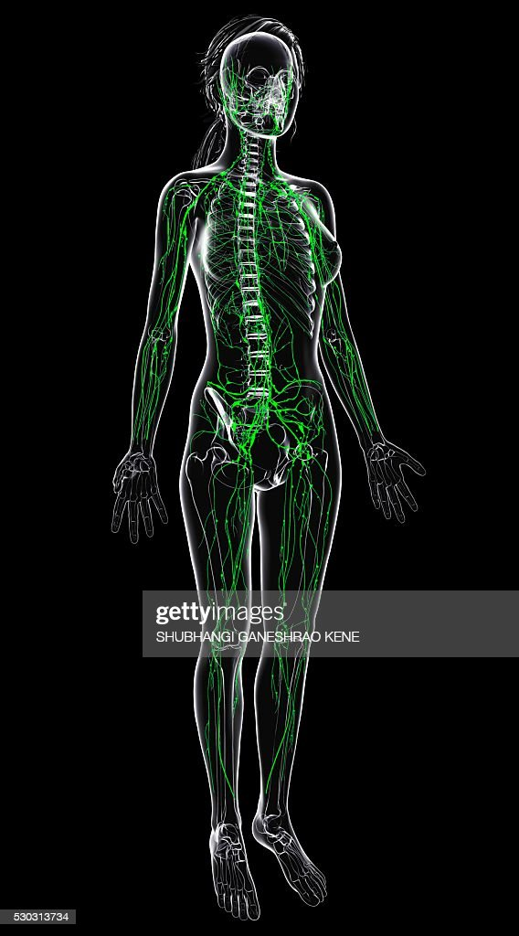 Female Lymphatic System Computer Artwork Stock Photo | Getty Images
