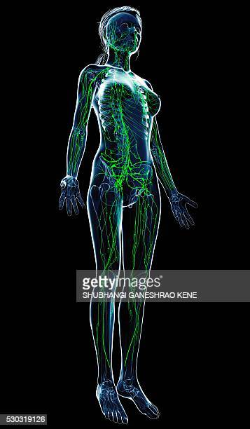 Female lymphatic system, computer artwork.
