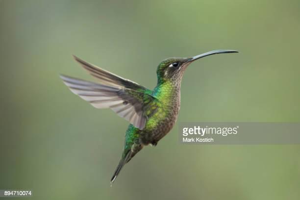 Weibliche herrliche Kolibri im Flug