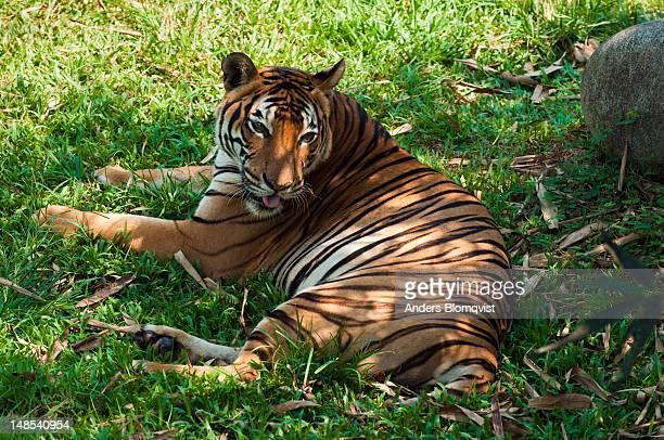 Female Malayan Tiger (Panra tigris malayensis) at Lok Kawi Wildlife Park.