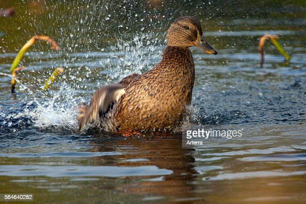 Female Mallard bathing by splashing water in pond Texel the Netherlands