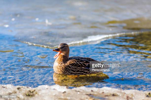 female mallard duck quacking on icy lake - germano reale foto e immagini stock
